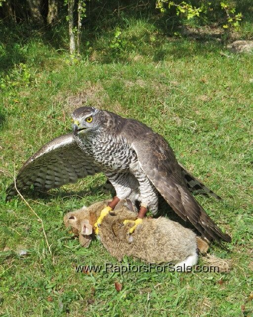Uk birds of prey Public Group | Facebook