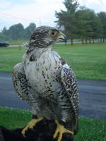 Educational Gyrfalcon